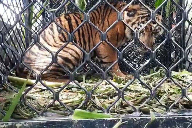 BKSDA evakuasi anak harimau terjerat di Aceh