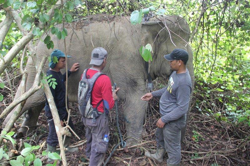 Kawanan gajah liar rusak kebun warga di Aceh Timur