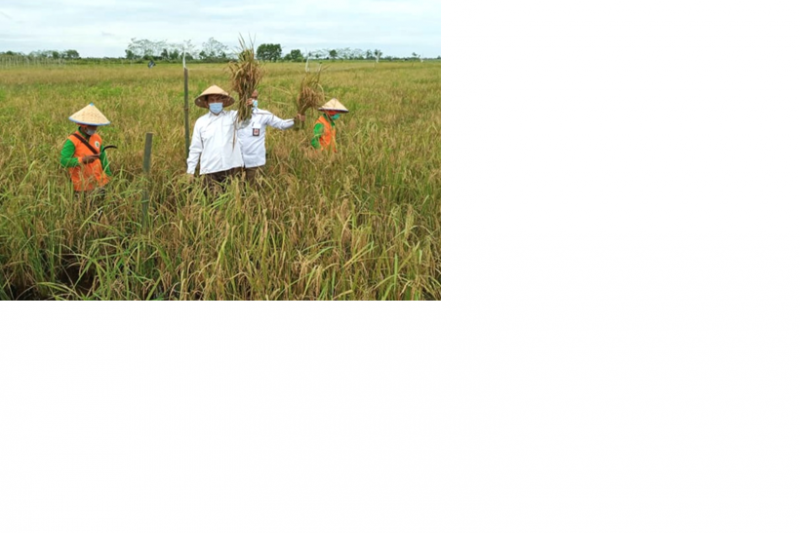 Dukung program ketahanan pangan BRGM budi dayakan padi di Kalteng