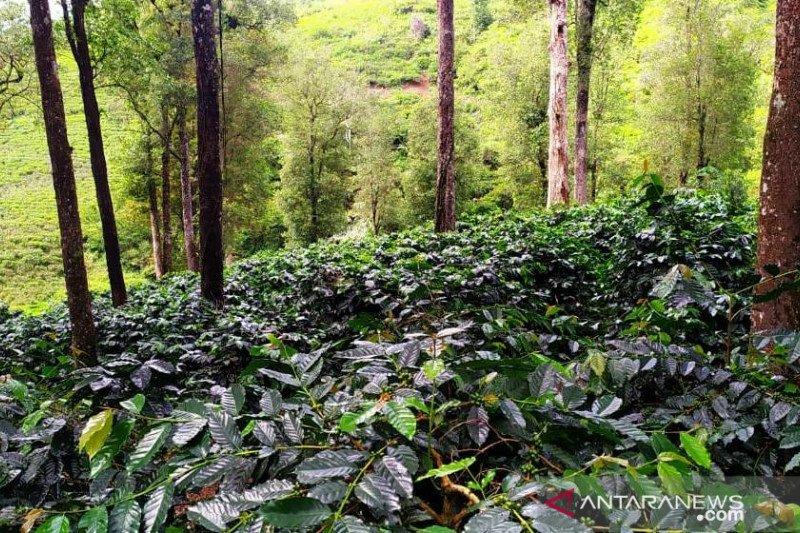 Mengembalikan kejayaan kopi Cianjur untuk mendunia