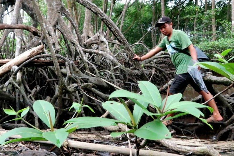 Merawat ekosistem mangrove, benteng alami Pulau Enggano