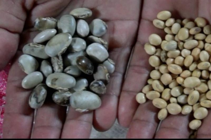 Kacang koro benguk pengganti kedelai dengan zat besi tinggi