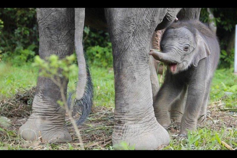 Anak gajah sumatera lahir di pusat latihan satwa Tangkahan
