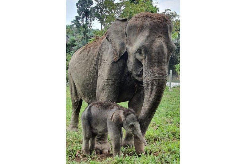 WALHI Sumut berharap populasi gajah Sumatera bisa bertahan