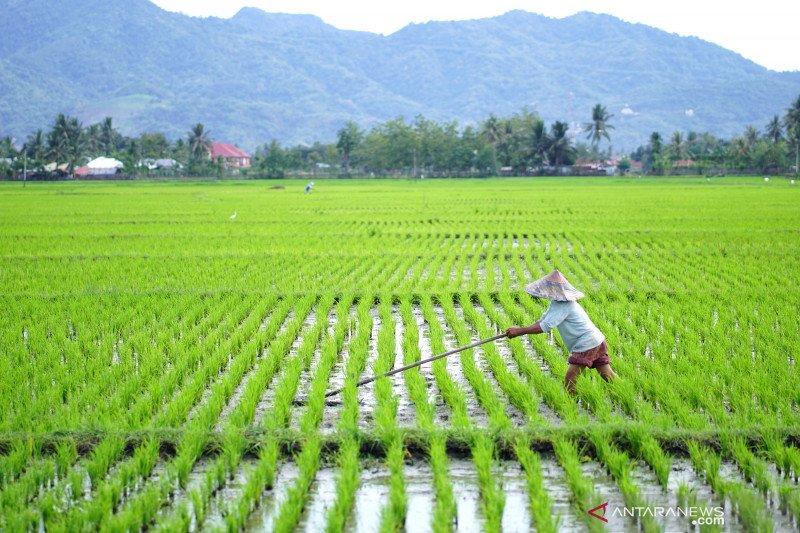BPS: Curah hujan tinggi sebabkan luas panen padi turun pada 2020