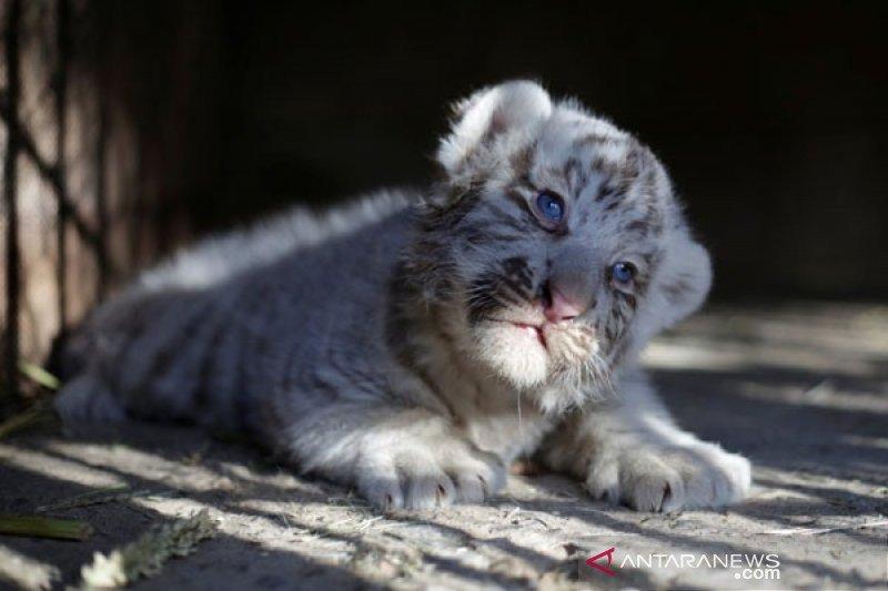 Dua bayi harimau putih di Pakistan kemungkinan tewas karena COVID-19
