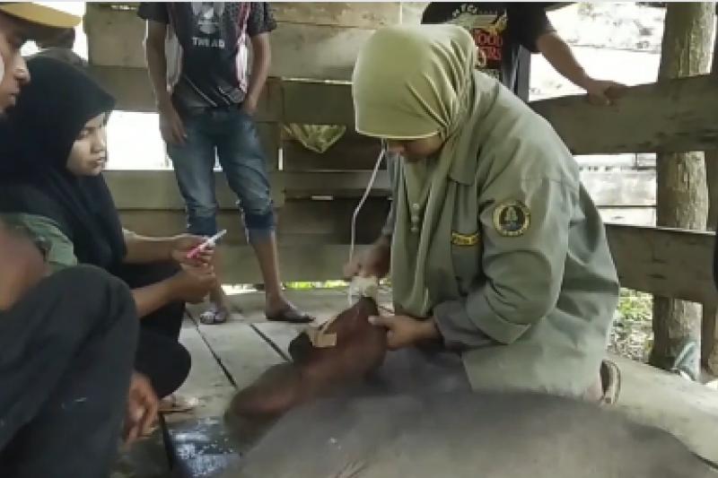 BKSDA Aceh rawat intensif bayi gajah yang terjebak di lumpur