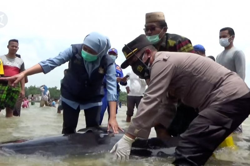 Paus terdampar di Madura, Khofifah ikut giring ke laut