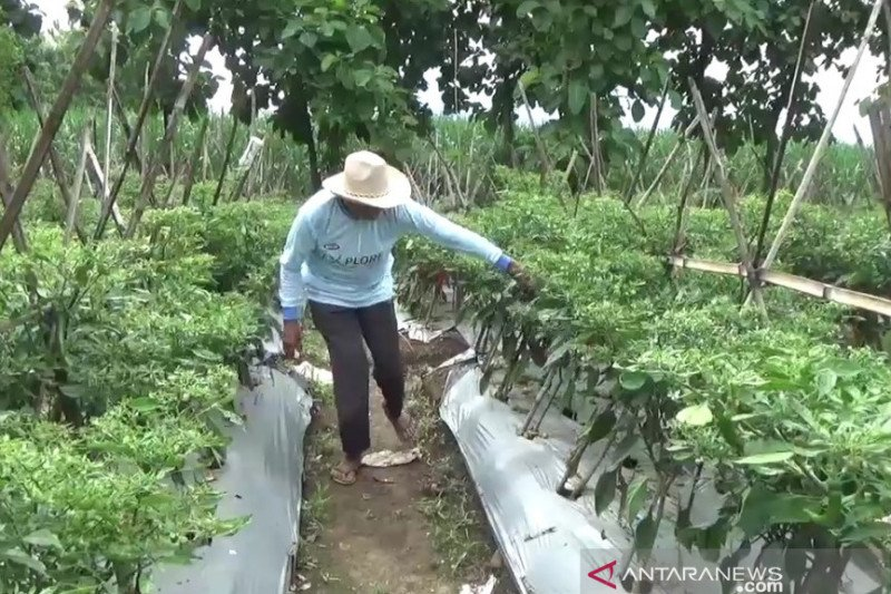 Produksi cabai di Kabupaten Madiun turun 50 persen akibat cuaca