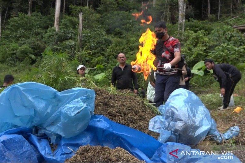 Polrestro Jakbar ringkus peladang ganja di Mandailing Natal