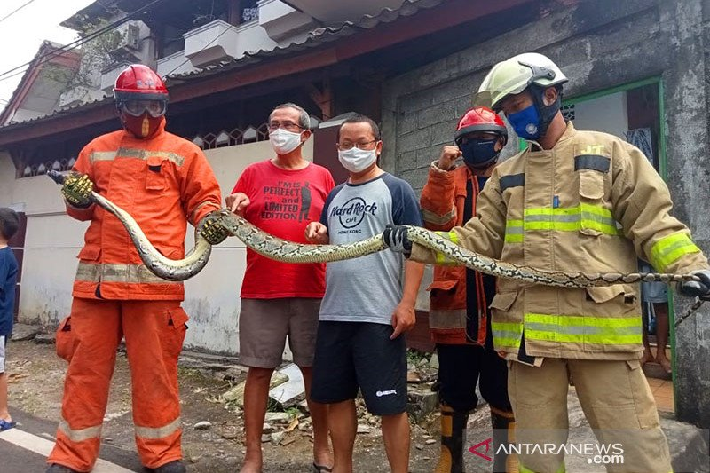 Damkar Jakarta Timur evakuasi ular sanca sepanjang empat meter