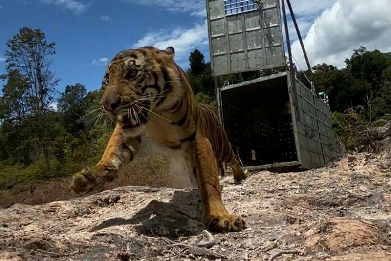 Harimau Sumatera Suro dilepasliarkan ke Taman Nasional Gunung Leuser