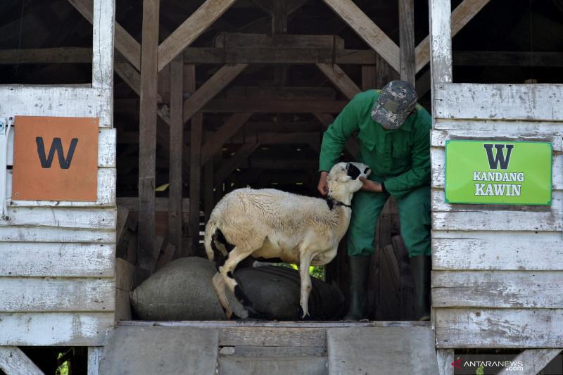 Upaya peningkatan populasi domba Garut