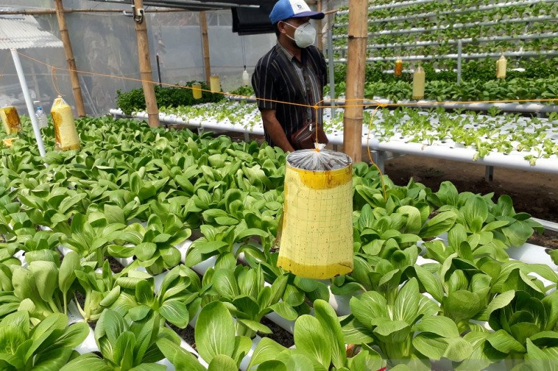 Permintaan sayuran hidroponik dari Kediri semakin tinggi