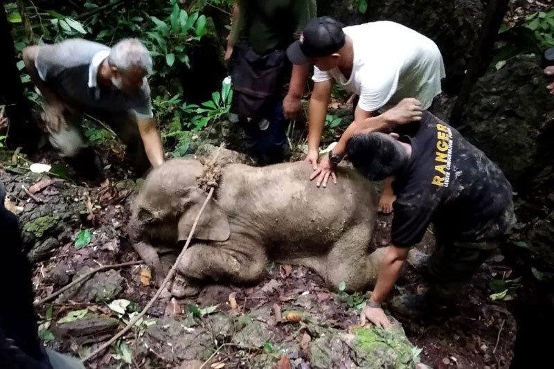 Gajah sumatra terluka di Aceh Timur