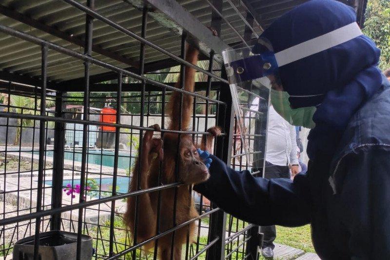 Orangutan yang disita di Binjai dibawa ke pusat rehabilitasi
