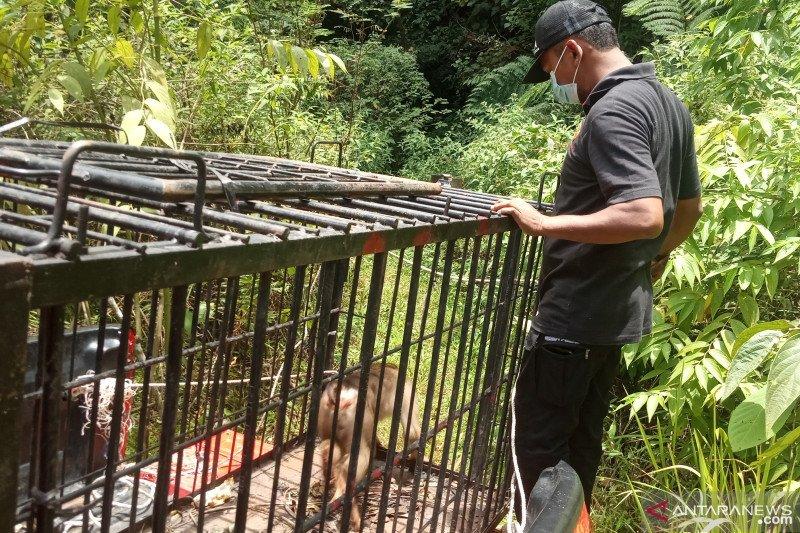 Beruk resahkan warga Agam dilepasliarkan di Hutan SM Malampah Pasaman