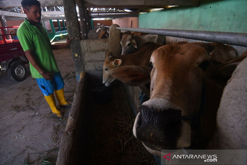 Kemenko Perekonomian dorong peternakan sapi beralih ke basis komersial