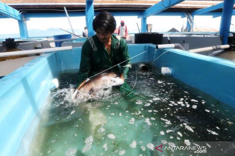 Perawatan Induk Ikan Budi Daya