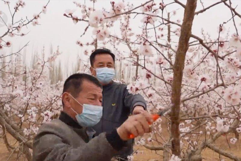 Bunga aprikot yang bermekaran dongkrak ekonomi petani di Xinjiang
