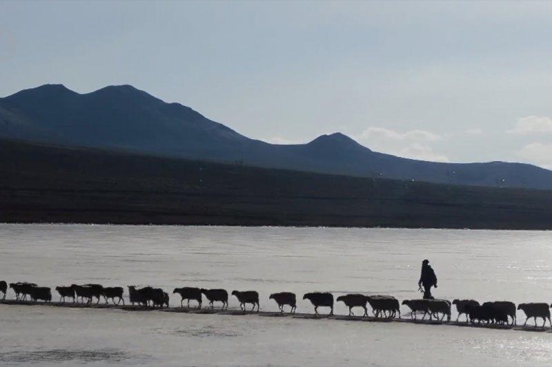 Tradisi Tibet kuno, 2.000 lebih domba seberangi danau beku