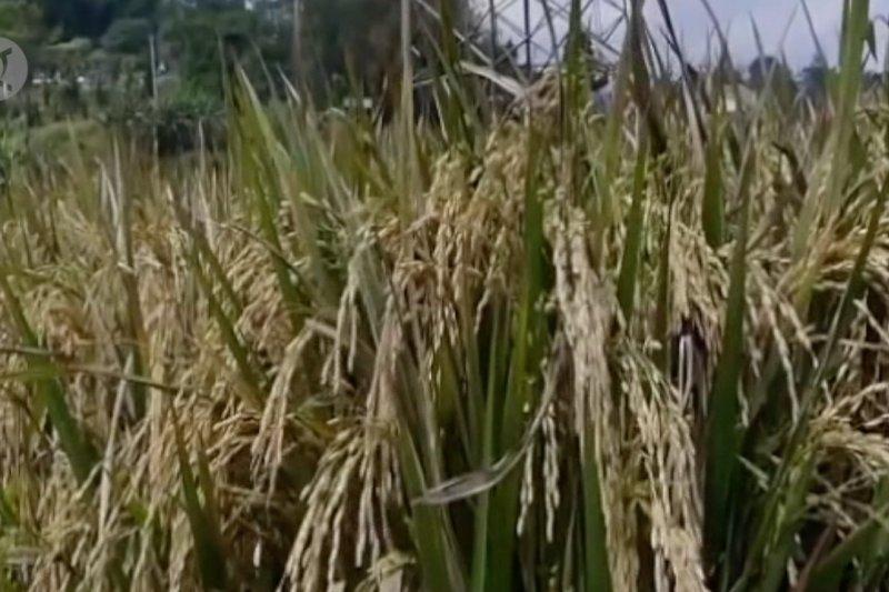 Presiden: Tidak ada beras impor masuk Indonesia