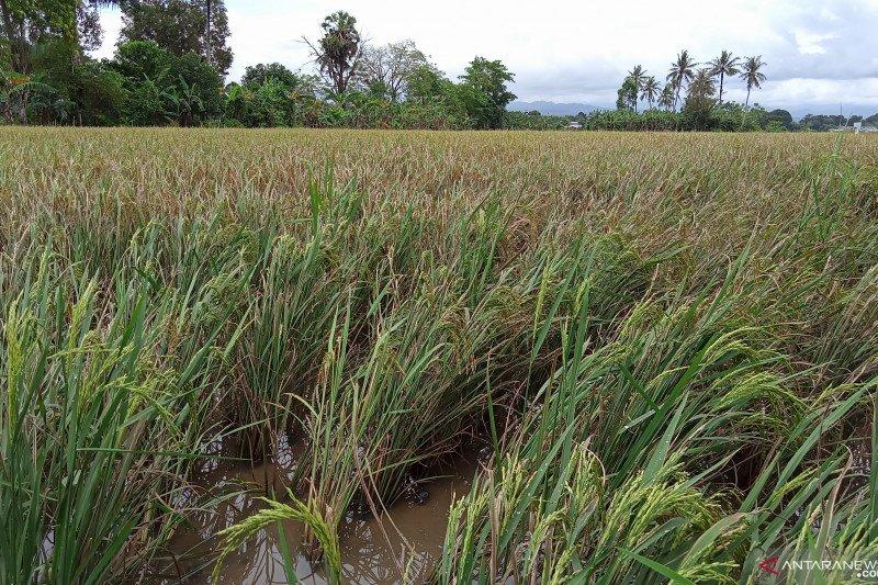 Realisasi pengadaan beras Bulog Sulselbar diatas 18 ribu ton