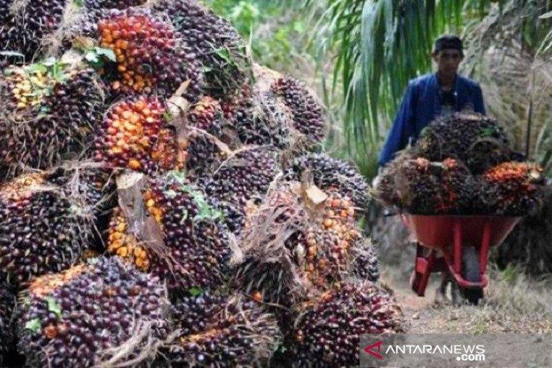 Harga cpo Jambi anjlok, jadi di bawah Rp10.000 per kilogram