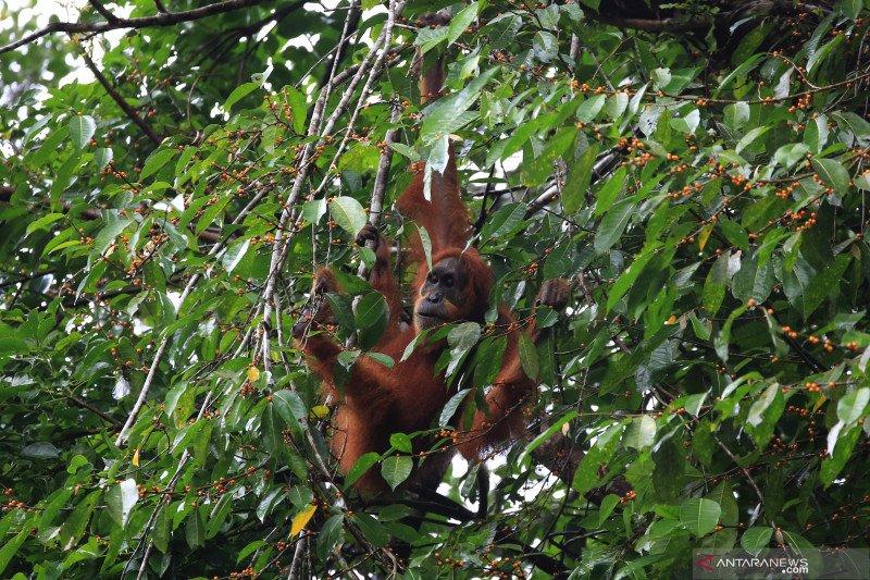 1.968 ekor orangutan hidup di kawasan Taman Nasional Kapuas Hulu