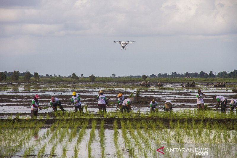 Perkembangan program Food Estate di Kalimantan Tengah