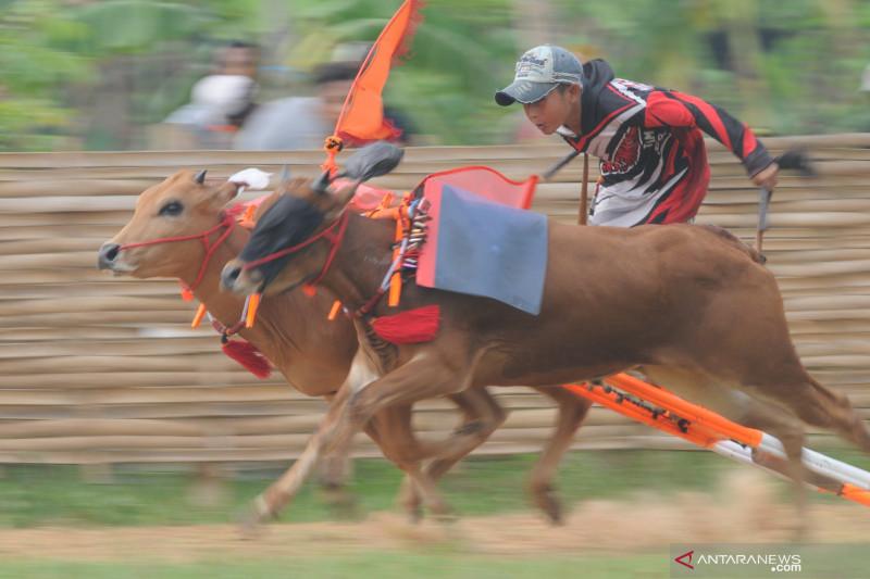 Kejuaraan Kerapan Sapi di Madura