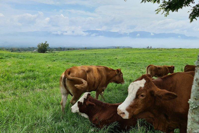 Balai peternakan sapi Payakumbuh bak di Selandia Baru