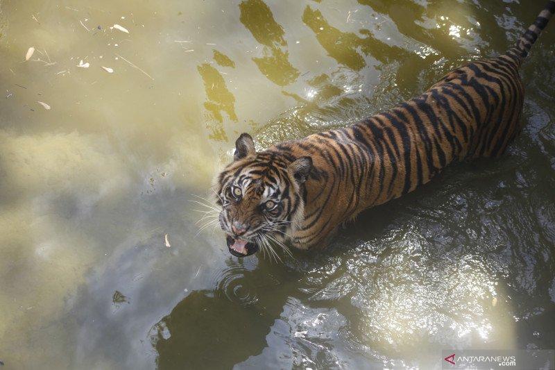 Populasi harimau sumatera