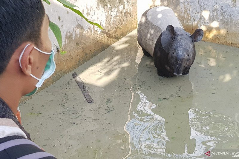 Seekor tapir liar nyasar ke kolam ikan warga di Pekanbaru