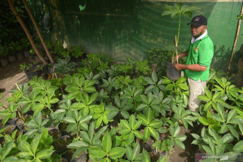 Budi daya tanaman porang di Padang