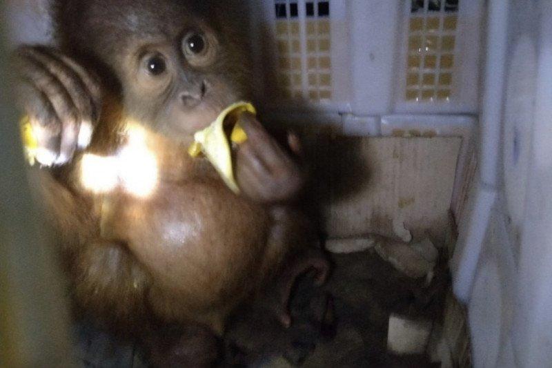 Karantina Pertanian Bandarlampung gagalkan selundupan anak orangutan
