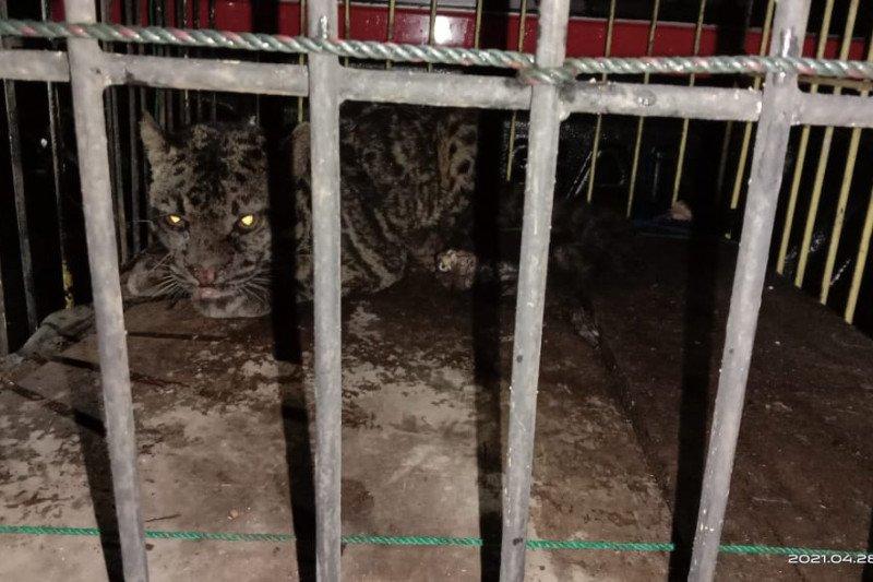 BKSDA Sumbar evakuasi macan dahan dari Kinali Pasaman Barat