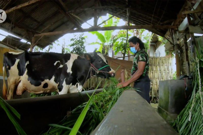 Begini cara peternak sapi manfaatkan kotoran jadi energi alternatif