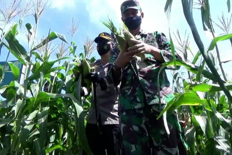 Kodim 0103 Aceh Utara panen jagung perdana di lahan demplot