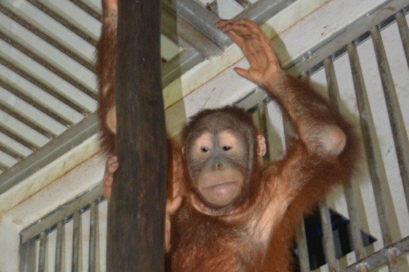 BBKSDA Sumut siap menerima orangutan selundupan dari Lampung