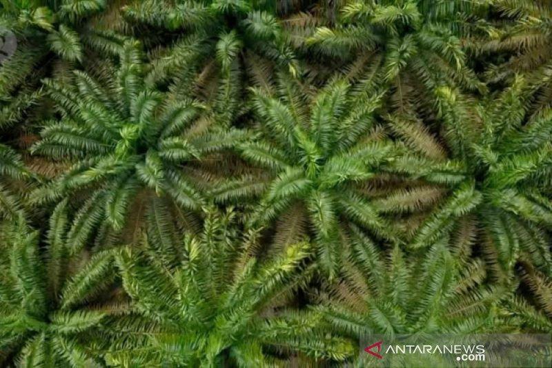 Harga sawit di Riau melonjak dipicu kenaikan CPO di Malaysia