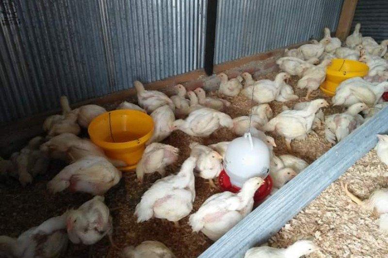 Harga ayam potong di Mamuju melonjak jelang Idul Fitri
