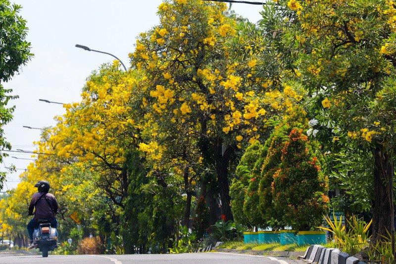 Bunga tabebuya yang bermekaran mempercantik kawasan jalan di Surabaya