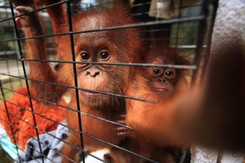 Jambi terima sepasang orang utan Sumatera dari BKSDA Lampung