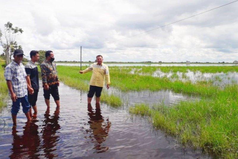 Ribuan hektare padi di Kotawaringin Timur gagal panen akibat banjir