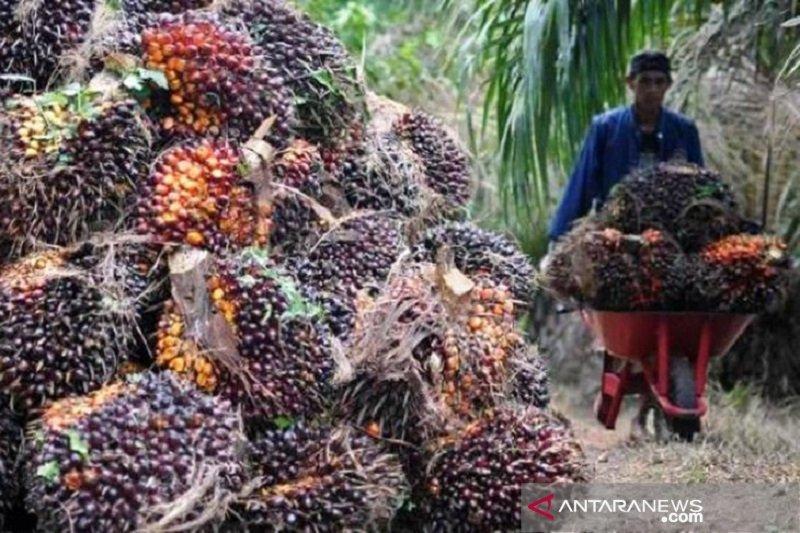 Harga CPO di Jambi capai Rp11.190 per kilogram