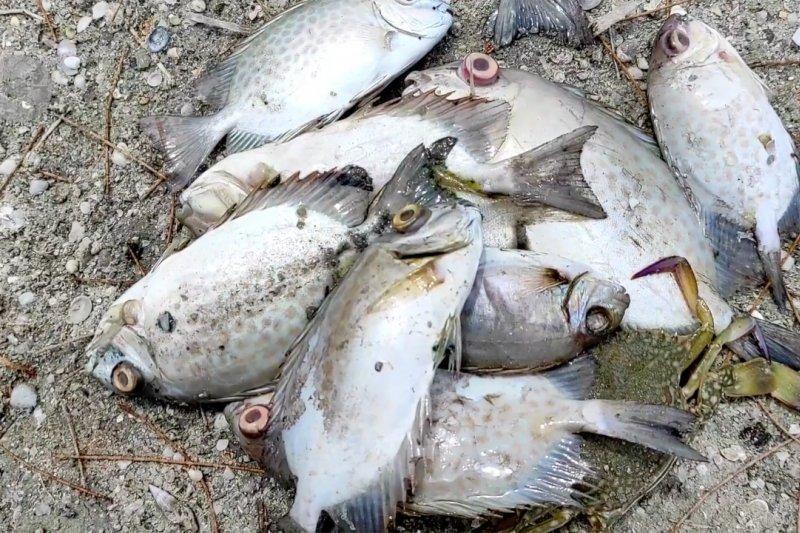 Cek kematian ikan di Pantai Cemara Bangka, sampel ikan & air diuji