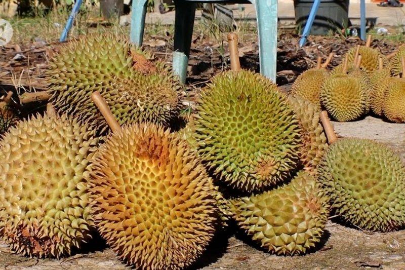 Buah durian dongkrak perekonomian Desa Punggur Kecil