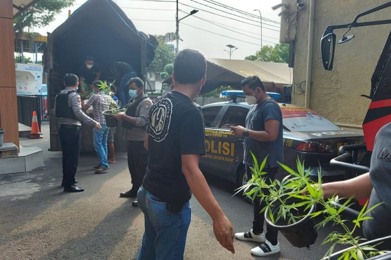 Polrestro Jakarta Barat gerebek kebun ganja hidroponik