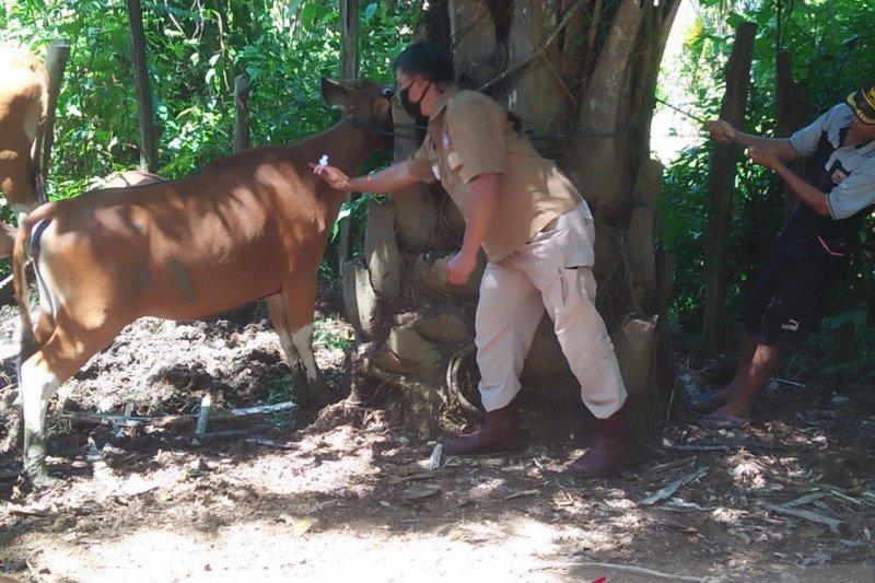 Diserang penyakit jembrana, 120 ekor sapi di Mukomuko-Bengkulu mati